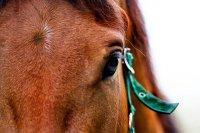 koń w stadninie